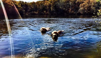 Dogs Swiming